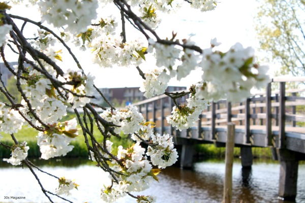 blossom with bridge