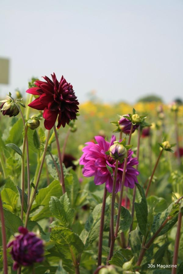 dahlias in field