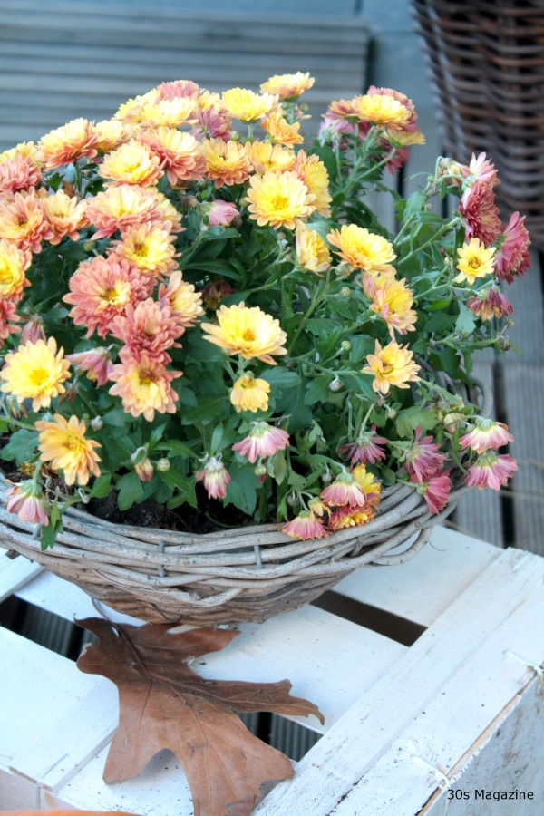 chrysantiums