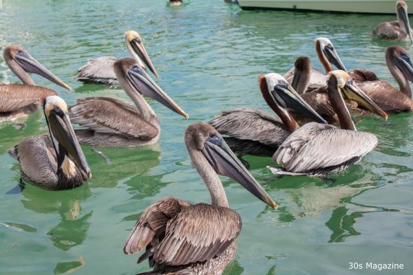 Pelicans at Robbie's Islamorada